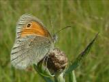 Сенница обыкновенная (Coenonympha pamphilus)