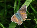 Червонец фиолетовый (Lycaena alciphron)