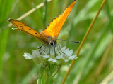 Червонец огненный (Lycaena virgaureae)