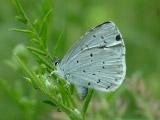 Голубянка крушинная (Celastrina argiolus)