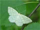 Пяденица бледная сероватая (Cabera exanthemata)