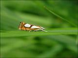 Огнёвка-травянка моховая (Catoptria pinella)