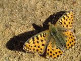 Перламутровка полевая (Issoria lathonia)