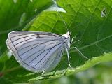 Пяденица полосатая (Siona lineata)