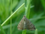 Луговой мотылёк (Loxostege sticticalis)