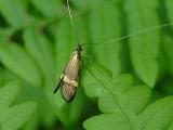 Длинноуска опаясанная (Nemophora degeerella)