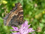 Многоцветница чёрно-рыжая (Nymphalis xanthomelas)