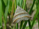 Совка ивовая (Colobochyla salicalis)