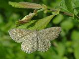Пяденица малая волнистая (Scopula immorata)