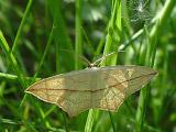 Пяденица щавелевая (Calothysanis amata)