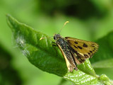 Крепкоголовка лесная (Carterocephalus silvicola)