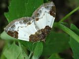 Пяденица-цидария малинная (Mesoleuca albicillata)