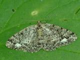 Пяденица дымчатая дубравная (Parectropis similaria)