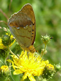 Перламутровка зеленоватая (Argyronome laodice)