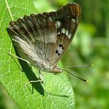 Переливница тополевая (Apatura ilia)