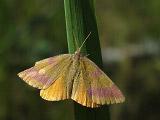 Пяденица пурпурная (Lythria purpuraria)