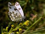 Белянка рапсовая (Pontia daplidice)