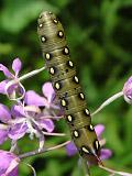 Бражник подмаренниковый (Hyles gallii)